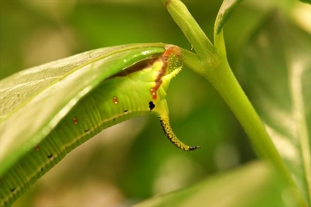 オオスカシバの幼虫 20180623-1