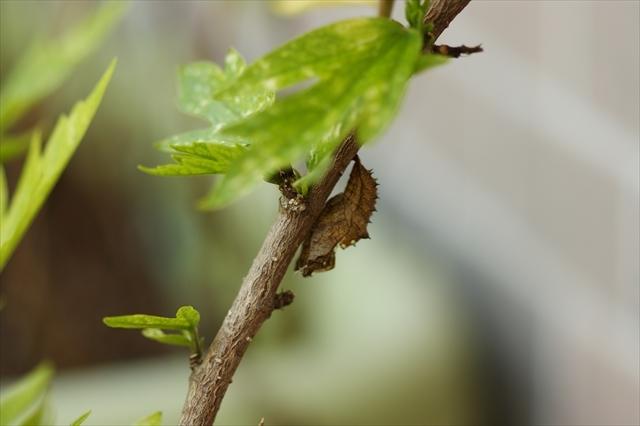 ツマグロヒョウモン-2 抜け殻