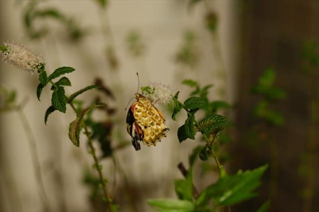 翅が悪いツマグロヒョウモン-1