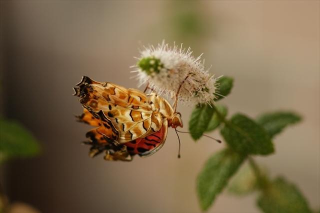 翅が悪いツマグロヒョウモン-3