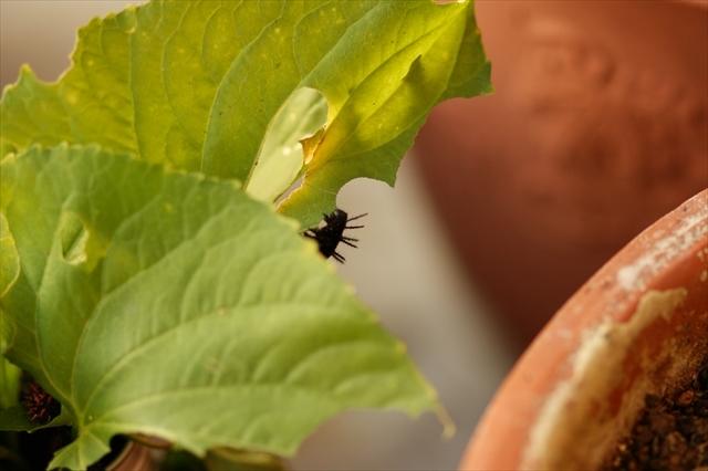 第二群の幼虫