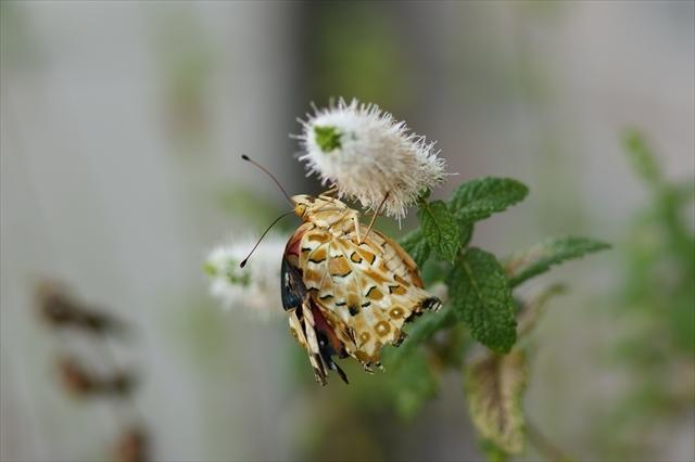 翅が不自由なツマグロヒョウモン