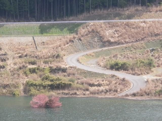 伊良原ダムの中で咲く桜-2