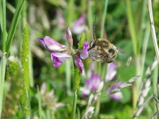 レンゲソウとミツバチ
