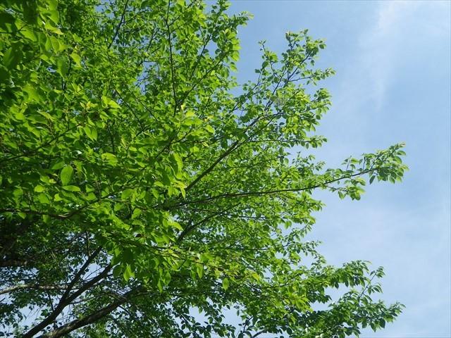ほたるの里公園の桜