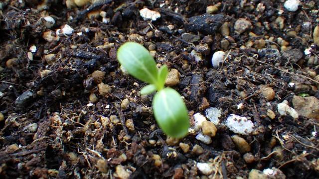 ニチニチソウの芽-1