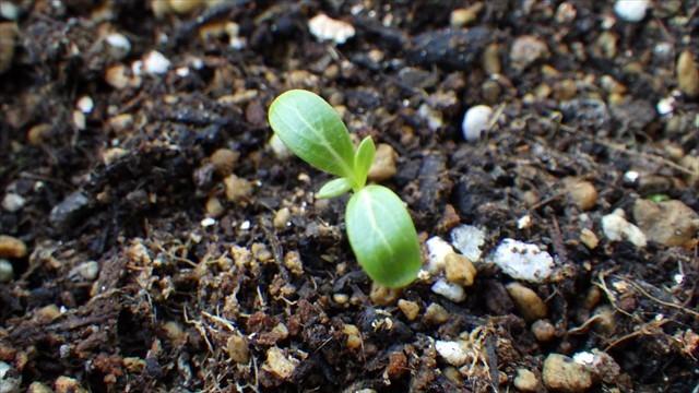 ニチニチソウの芽-2