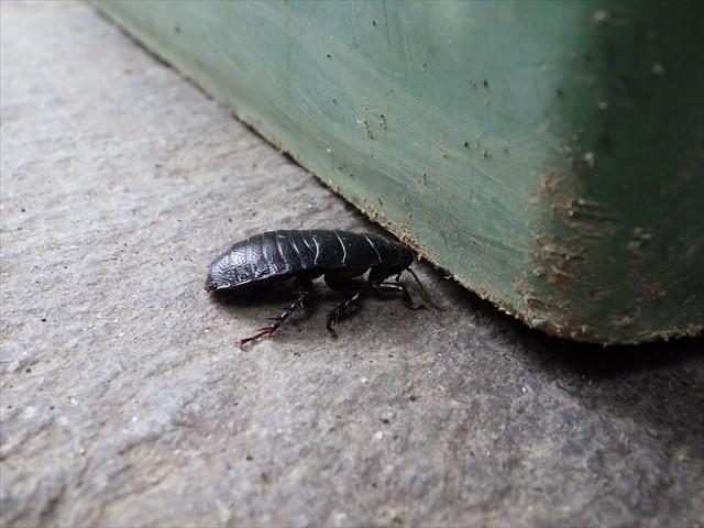 オオゴキブリの幼虫