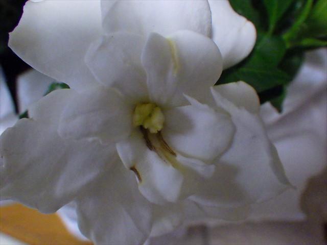 喰われたクチナシの花