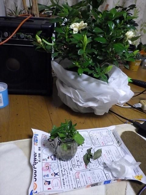 オオスカシバ クチナシの植木鉢