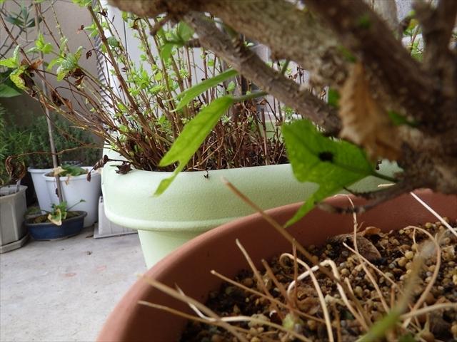 消えたツマグロヒョウモンの前蛹