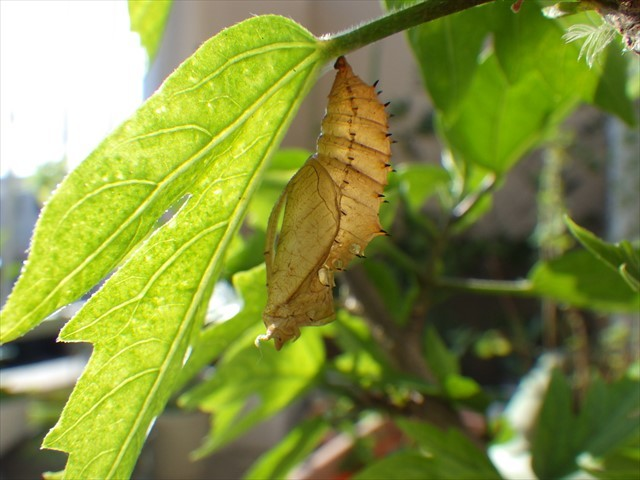 ツマグロヒョウモンの蛹の抜け殻-2