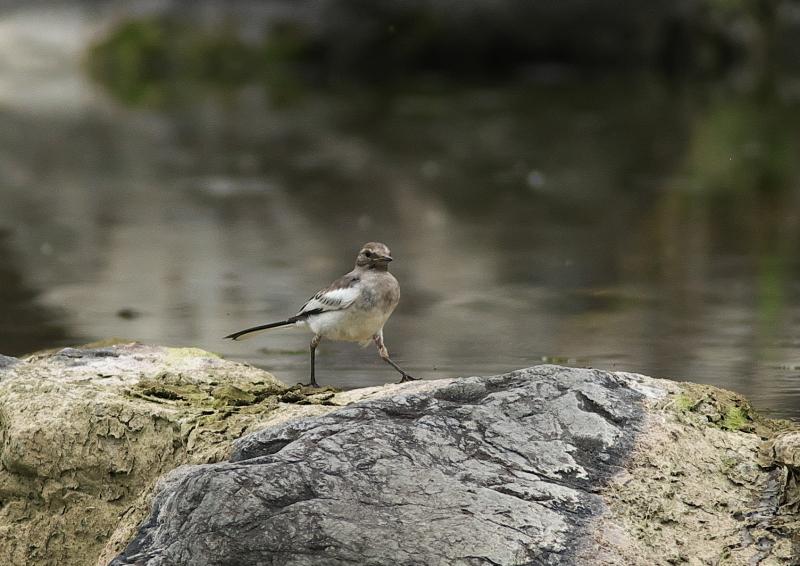 野鳥 (4)