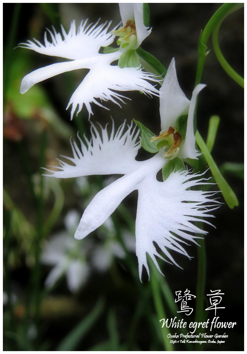 鷺草 サギソウ 準絶滅危惧種 大阪府立花の文化園