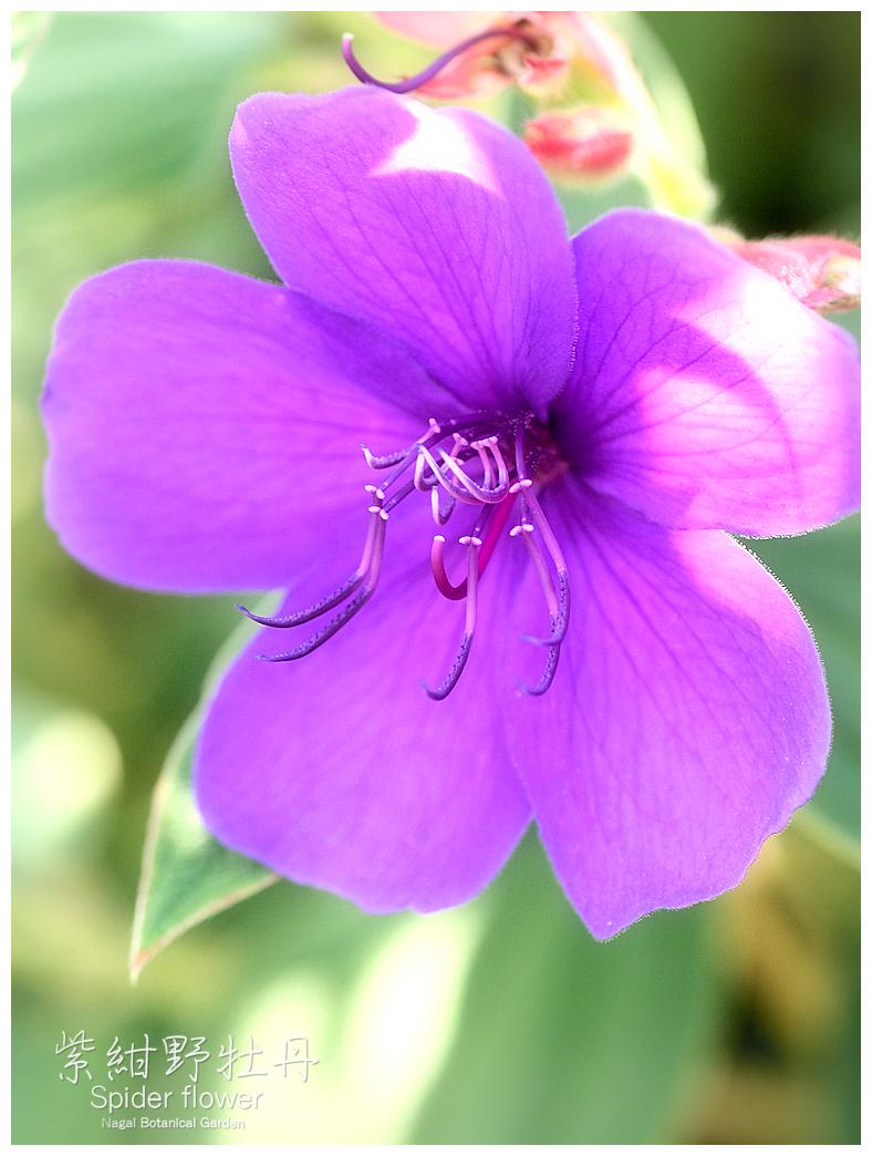 シコンノボタン 紫紺野牡丹 スパーダーフラワー