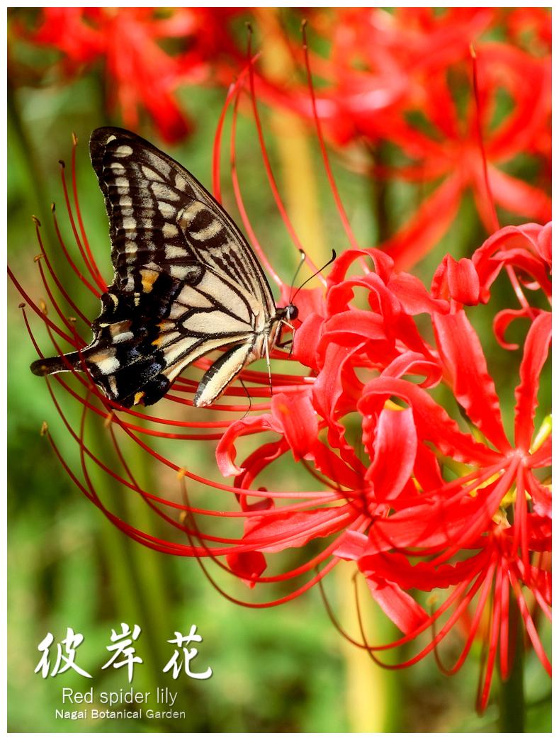 ヒガンバナ 長居植物園 アゲハチョウ