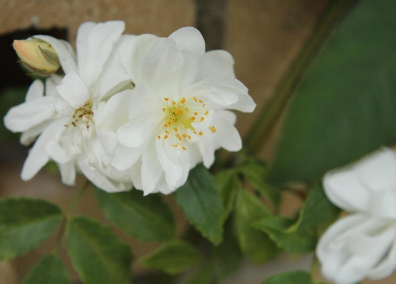 Rosa Snow Goose