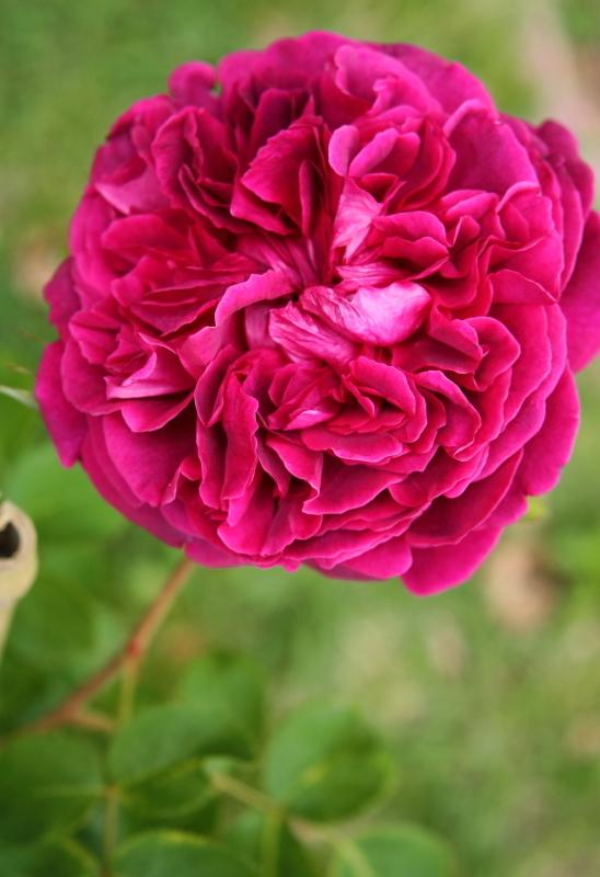 Rosa William Shakespeare