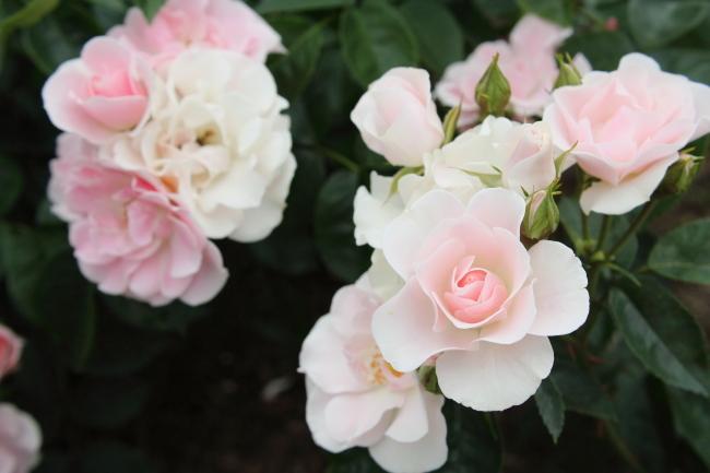 Rosa Cerezo