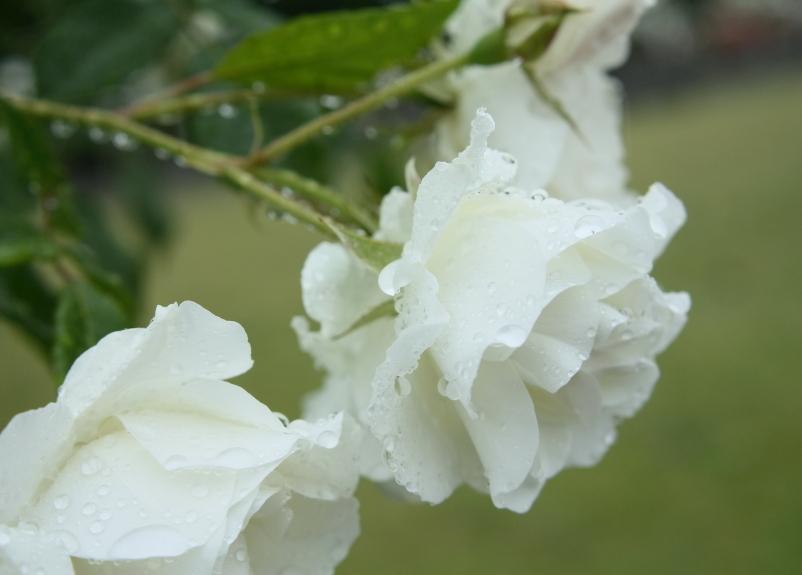 Rosa Schneewittchen