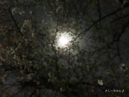 荒川土手の桜・2018_02
