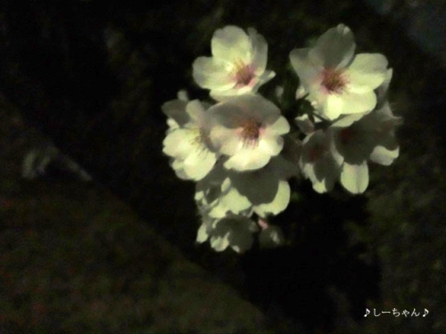 荒川土手の桜・2018_01