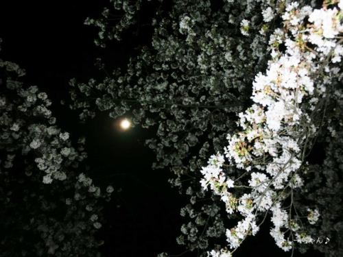 荒川土手の桜・2018_03