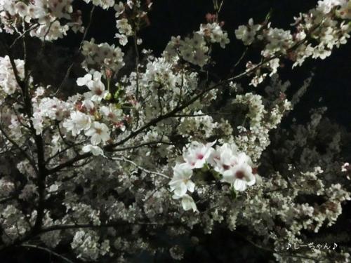 荒川土手の桜・2018_04