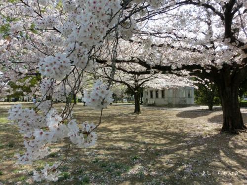 かめの道の桜_01