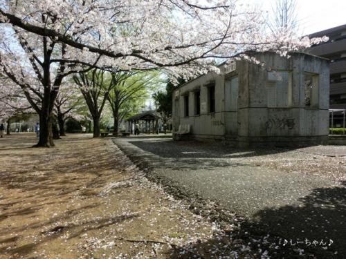 かめの道の桜_02