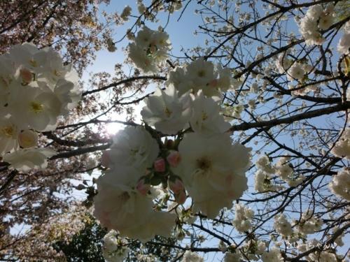 かめの道の桜_04
