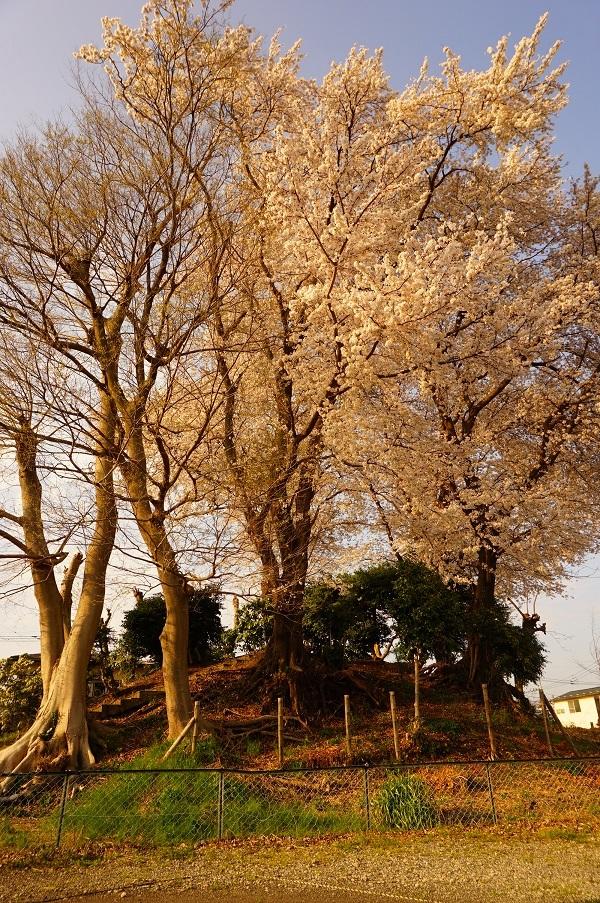 04 木曽富士塚(提灯塚)塚上の桜