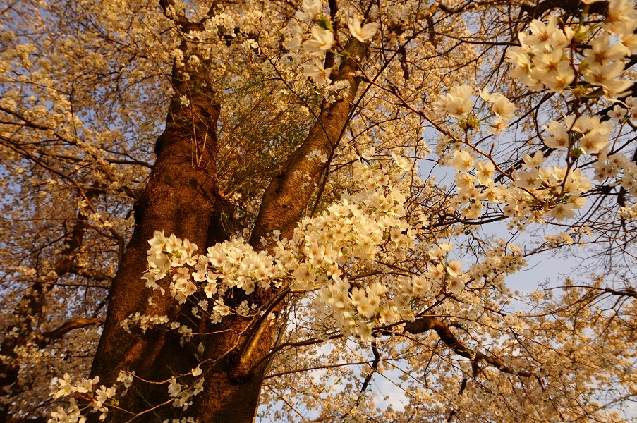 10 木曽富士塚(提灯塚)塚上の桜