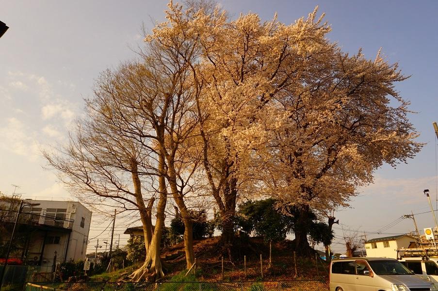 11 木曽富士塚(提灯塚)塚上の桜