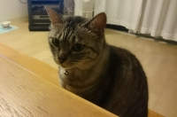 じっと机をみているネコ
