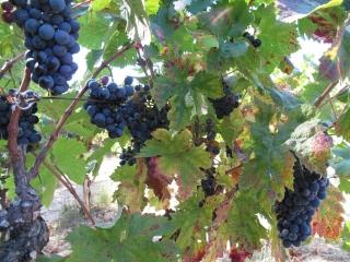 7 grappe wine