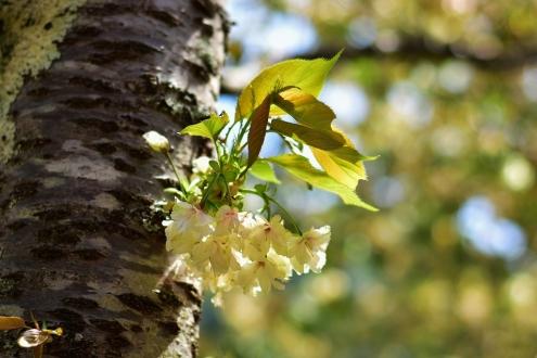 うこん桜 (3)