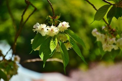 うこん桜 (1)