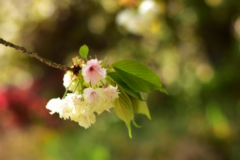 うこん桜 (2)