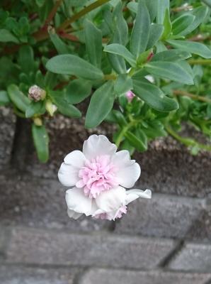 白とピンク