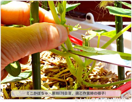 ペトさい(ミニかぼちゃ)43