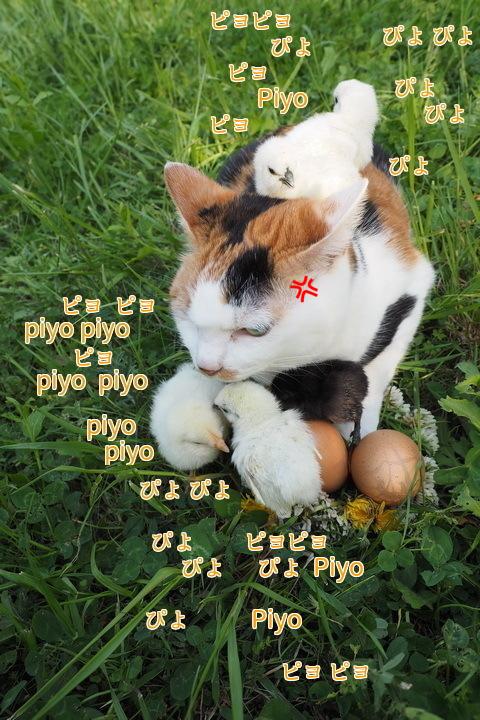 23piyo.png