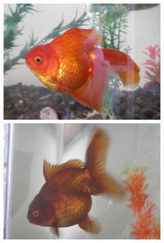 親金魚2-1
