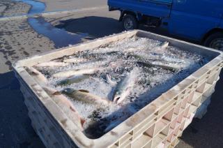 秋サケ漁4