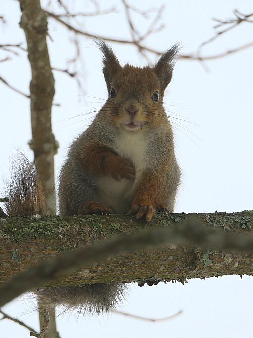 フィンランド 庭 りす リス Orava Squirrel