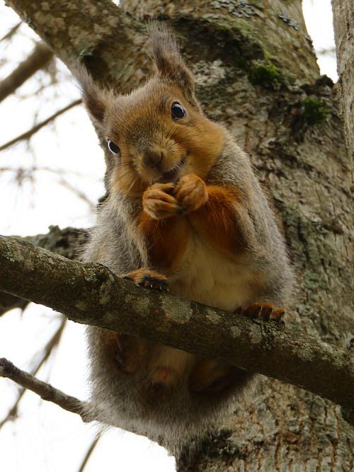 フィンランド 庭のかわいい訪問者 りす リス Orava Squirrel