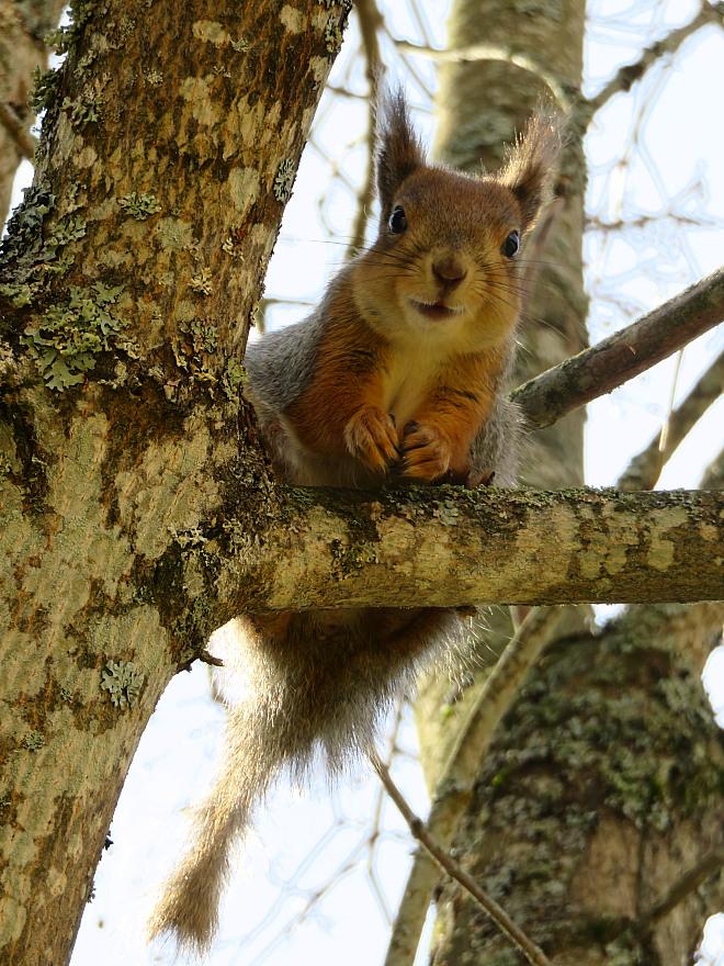 フィンランド 庭のかわいい訪問者 Squirrel Orava リス りす