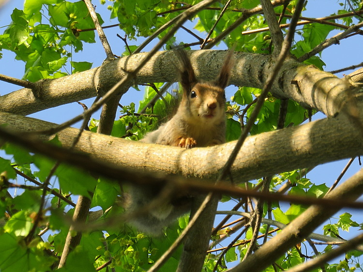 フィンランド 庭のかわいい訪問者 リス Orava Squirrel
