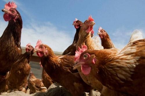 鶏を逆進化(先祖返り)させて恐竜を生み出すという研究wwwww
