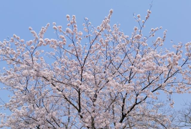 大森山桜2018042800002